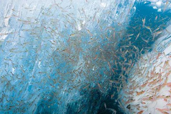 """南极磷虾油K-REAL®在中国获批""""新食品原料"""""""